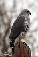 Adult gray hawk, one of a pair at Anzalduas County Park on the Rio Grande River south of Mission, Texas