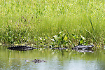 Damon, Texas; a large, adult alligator swimming past an even larger alligator resting along the bank of the slough