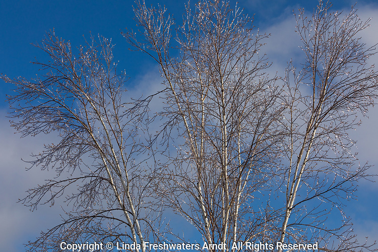 Ice-covered birch tree in northern Wisconsin.