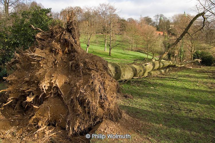 Fallen tree in Waterlow Park, Highgate, following a heavy storm.