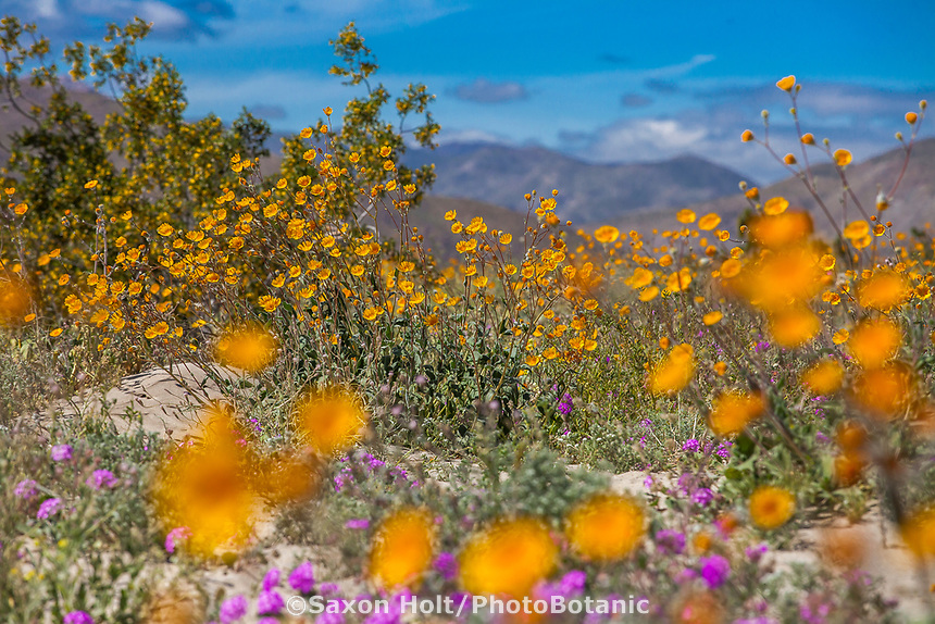 Desert Sunflower, Geraea canescens, wildflowers on desert floor of Sonoran Desert at Anza Borrego California State Park with Santa Rosa Mountains during super bloom