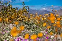 Desert Sunflower, Geraea canescens, wildflowers on desert floor of Sonoran Desert at Anza Borrego California State Park with Santa Rosa Mountains during super bloom