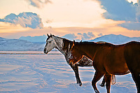 Evening light creates a surreal winter setting for these pastured horses  following two days of heavy snow near Kama, Utah.  November 2012.