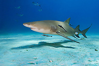 Lemon Shark, Negaprion brevirostris, West End, Grand Bahama, Bahamas, Caribbean, Atlantic Ocean