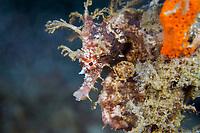 lined seahorse, northern seahorse, or spotted seahorse, Hippocampus erectus, Blue Heron Bridge, Riviera Beach, Palm Beach County, Florida, USA, Atlantic Ocean