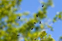 Langhornmotte, Grüner Langfühler, Adela reaumurella, syn. Phalaena reaumurella, syn. Phalaena viridella, Adela viridella, Green Longhorn, Green Long-horn, Langhornmotten, Langfühlermotten, Adelidae, Longhorn moth, Longhorn moths, Longhorn-moth