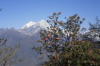In the foothills of the Himalayas, the various species of rhododendron flower from early April to late June, between 6,000 and 19,000 feet.