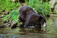 Black Bear steps into mountain stream.  Western U.S.