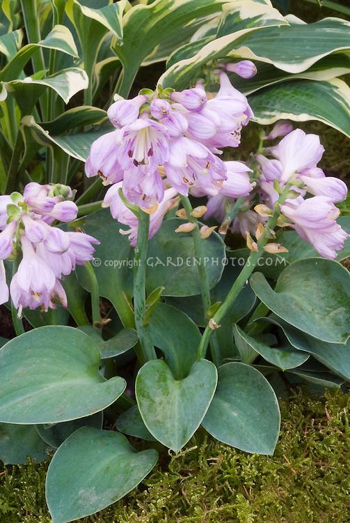 Hosta Blue Mouse Ears in flower in front of Hosta Chantilly Lace