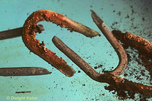 CX09-001a  Oxidation of nails (iron) in cupric sulfate solution - copper forming on iron nails