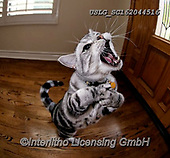 REALISTIC ANIMALS, REALISTISCHE TIERE, ANIMALES REALISTICOS, cats, paintings+++++,USLGSC162044516,#A#, EVERYDAY ,photos,fotos,pounce,cat,cats,kitten,kittens,Seth
