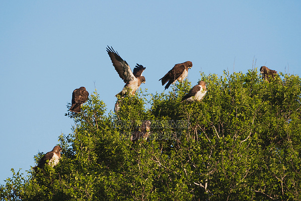 Swainson's Hawk (Buteo swainsoni), adults in tree, Sinton, Corpus Christi, Coastal Bend, Texas, USA