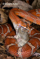 1R22-641z  Corn Snake, Banded Corn Snake, Elaphe guttata guttata or Pantherophis guttata guttata, catching and eating mouse