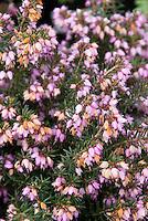 Heather Darley Dale Erica x darleyensis in prink bloom