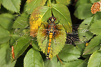 Große Moosjungfer, Große Moorjungfer, Leucorrhinia pectoralis, Large white-faced darter, yellow-spotted whiteface