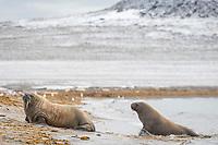 Atlantic walruses, Odobenus rosmarus rosmarus, Phippsoya, Sjuoyane, Svalbard Archipelago, Svalbard and Jan Mayen, Norway, Europe