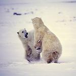 Polar bears, Manitoba, Canada