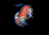southern bobtail squid or southern dumpling squid, Euprymna tasmanica, Edithburgh, South Australia, Australia