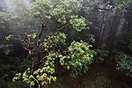 Pacific Madrone (Arbutus menziesii) tree in Coast Redwood (Sequoia sempervirens) forest in fog, Santa Cruz, Monterey Bay, California