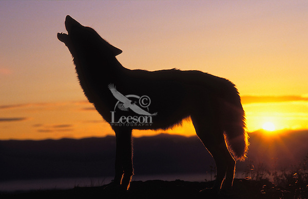 Gray Wolf howling at dawn. (Canis lupus)..Autumn. Rocky Mountains.