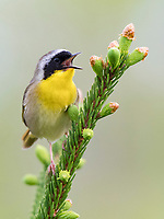 common yellowthroat, Geothlypis trichas, male, perched and singing on tree, Nova Scotia, Canada