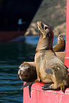 San Diego Bay, San Diego, California; a California Sea Lion (Zalophus californianus) hauls out of the water on a red channel marker buoy, with fishing line tied around it's neck