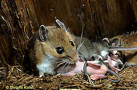 MU27-130z  White-Footed Mouse - with 10 day old young -  Peromyscus leucopus