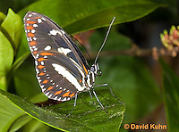 0101-0901  Tropical Butterfly, Superfamily: Papilionoidea © David Kuhn/Dwight Kuhn Photography