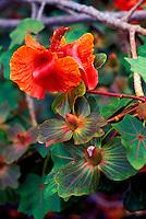 The kokia drynarioides flower (Malvaceae) in various stages, an endangered native Hawaiian plant, Kaupulehu