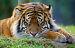 Tiger at rest, distribution: India to Siberia. (captive)