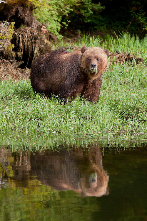 Grizzly Bear standing along the shore with grass in its mouth