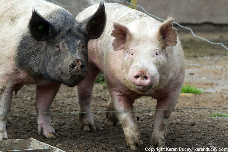 Tom (right), an adult pig who weighs close to 400 pounds hangs with Spyder in their pen on the Young's family farm in Edgewood, WA. on April 4, 2015.