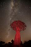 Quiver tree or kokerboom (Aloe dichotoma), Karas Region, Namibia