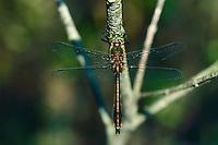 Gemeine Smaragdlibelle, Falkenlibelle, Cordulia aenea, downy emerald, la Cordulie bronzée, Corduliidae, Falkenlibellen