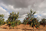 Israel, Shephelah region. Orange grove by route 353