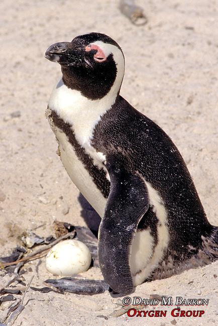 African Penguin & 2 Egg