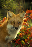 Close up of Red fox, vulpes fulva, in afternoon light with fall orange leaves, Midwest USA