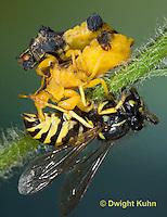 AM02-577z   Ambush Bugs mating, female feeding on Sandhills Hornet prey with long sharp beak,  Phymata americana