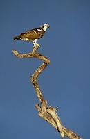 Fischadler, Fisch-Adler, Adler, Pandion haliaetus, osprey