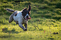 06/11/17<br /> <br /> Springer spaniel, Chester, loves to run and jump and even seems to enjoy 'performing' for the camera. But occasionally, things don't go quite to plan. In this set of photos the first image shows the three-year-old leaping effortlessly, more like a stallion than a dog, from a bridge crossing a stream over a stile. But before his feat of gravity-defying athleticism, Chester first tried to clear the jump in the other direction. This attempt was a rather less elegant affair and saw him completely misjudge the height of the stile, landing on his tummy with his front and back legs either side of the highest wooden plank before crashing down on to the bridge beams below. Uninjured, and undeterred, Chester cleared the stile on his second attempt, with inches to spare before continuing his afternoon run around fields near Ashbourne, Derbyshire.<br /> <br /> All Rights Reserved F Stop Press Ltd. +44 (0)1335 344240 +44 (0)7765 242650  www.fstoppress.com
