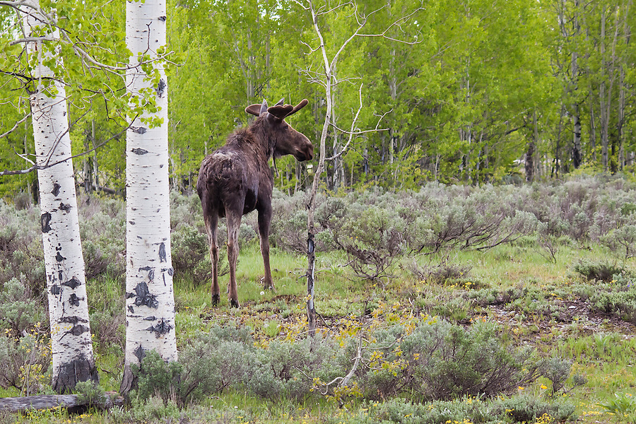 Moose in an Aspen grove, Grand Tetons National Park
