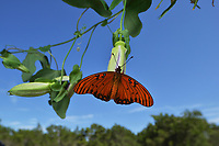 Gulf Fritillary (Agraulis vanillae), adult perched on passionvine (Passiflora sp.), Hill Country, Central Texas, USA