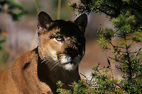 Mountain lion or cougar (Felis concolor)