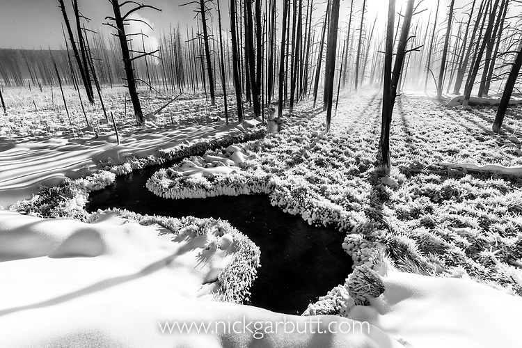 Morning mits and a stand of dead trees on a winter morning. Firehole Valley. Yellowstone National Park, Wyoming, USA. January