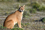 Female puma (Puma concolor) (southern subspecies Puma concolor puma) (in N. America, cougar or mountain lion) on private ranch land (Estancia Amarga) on the outskirts of Torres del Paine National Park, Patagonia, Chile.