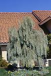 10078-CB Willow Pittosporum, tree, Pittosporum phillyraeoides, in front yard at Leucadia, California