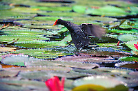 Hawaiian moorhen gallinula or alae ula, (gallinula chloropus sandvicensis). This endemic race is widely distributed on Kauai and Oahu only.