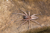Plattbauchspinne, Plattbauch-Spinne, Glattbauchspinne, Glattbauch-Spinne, Drassodes spec., Gnaphosidae, Plattbauchspinnen, Glattbauchspinnen, ground spiders, hunting spiders