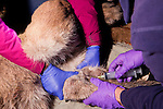 Mountain Lion (Puma concolor) biologists, Chris Wilmers and Justine Alyssa Smith, taking blood from sub-adult male for analysis during collaring, Santa Cruz Puma Project, Santa Cruz, Monterey Bay, California