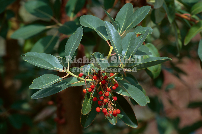 11264-CA Madrone, Arbutus menziesii, branch & fruit in autumn, at Mourning Cloak Ranch & Botanical Garden, Tehachapi, CA USA